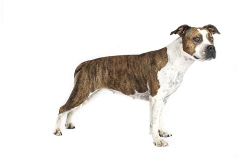 american terrier puppies american staffordshire terrier facts pictures puppies temperament breeders