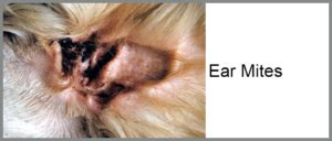 ear mites vs yeast infection ear mites vs yeast infection in dogs www pixshark images galleries with a bite