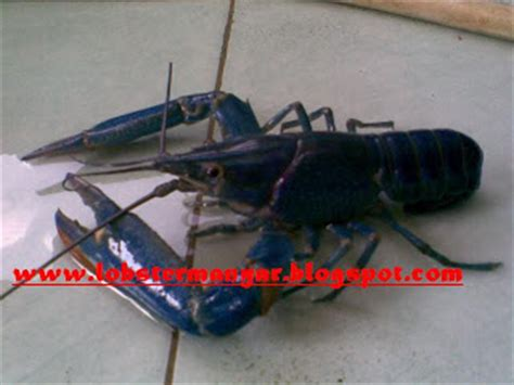 Bibit Udang Lobster udang lobster manyar lobster air tawar photo