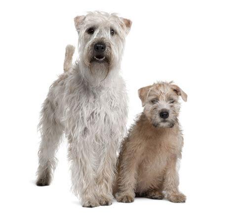 soft coated wheaten terrier dog breed information soft coated wheaten terrier dogs breed information omlet