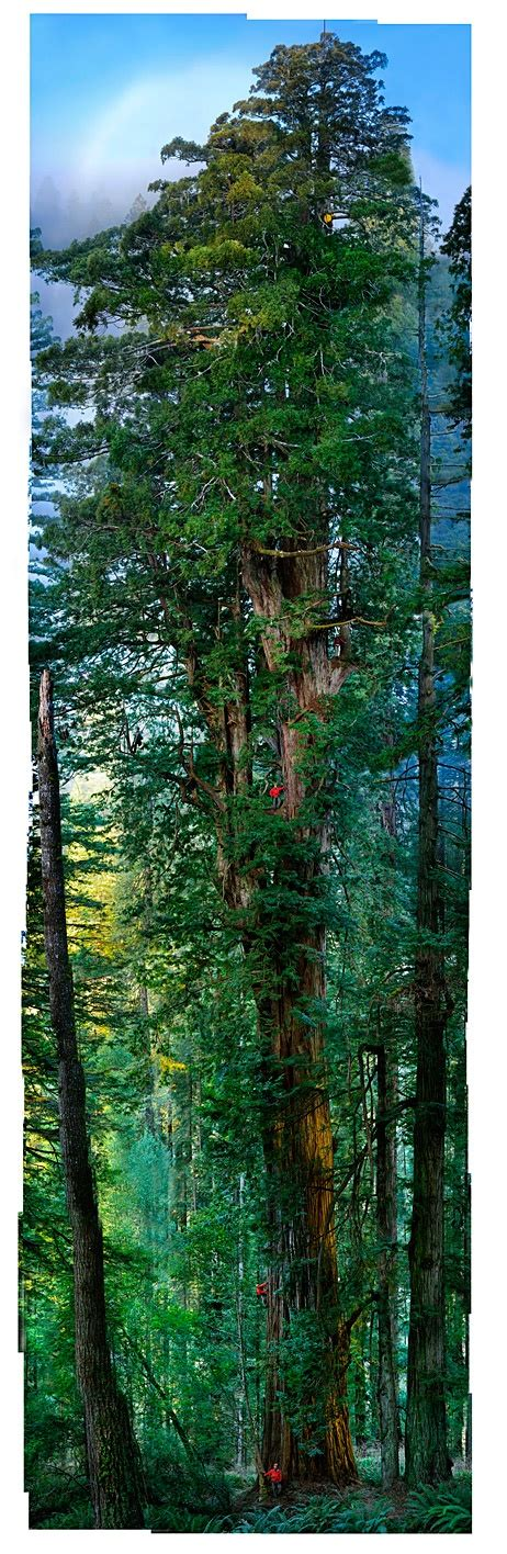the tree could not put i wish i could put a tree house up there re pins redwood forest nature redwood forest