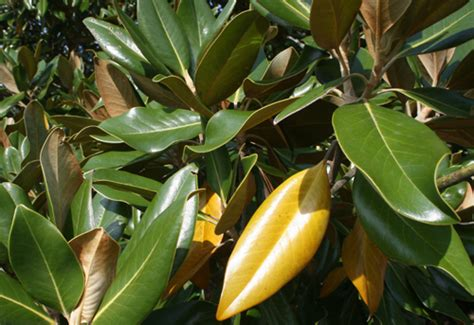 Magnolia Tree Shedding Leaves by Caes Newswire Evergreens Shed