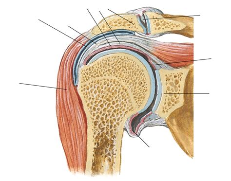 coronal section coronal section through shoulder joint purposegames