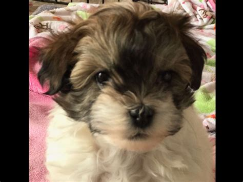 akc havanese breeders of merit sydney havanese puppies for sale