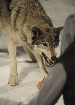 frozen film wolf scene scene stealer working with frozen s wolves latimes com