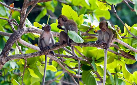 why do monkeys swing on trees อ าวล ง กระบ ว ว ท วร