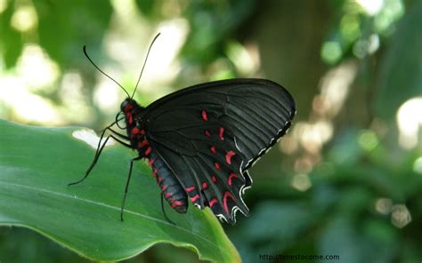 Butterfly Black the most beautiful and masculine butterfly welcome to ichi s world