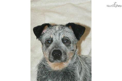 blue heeler puppies ohio australian cattle blue heeler puppy for sale near chillicothe ohio 69e2e730 66f1