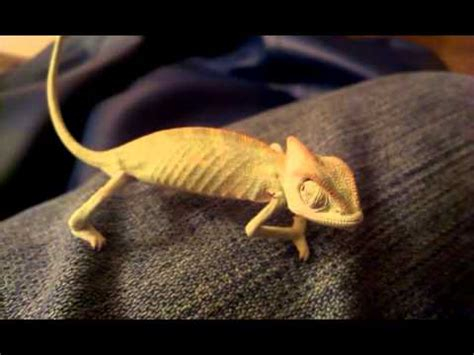 veiled chameleon changing colors baby veiled chameleon calyptratus chameleon changing