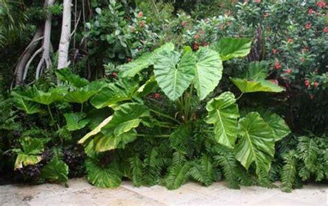 the elephant ear plant the garden of eaden