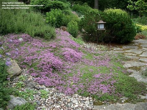 Bibit Benih Seeds Creeping Thyme For Ground Cover creeping thyme ground cover www imgkid the image kid has it
