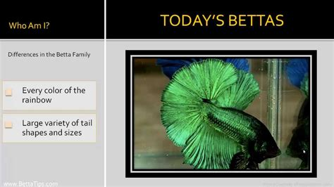 betta colors betta types the many different stunning betta colors and