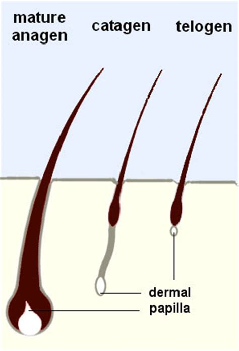 Shedding Phase Of Hair by Utcvm Hair Loss