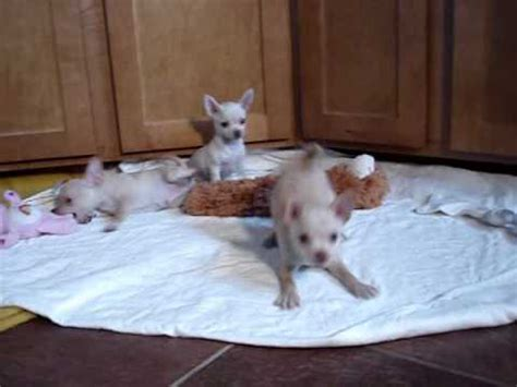 chihuahua puppies for sale in oregon teacup and standard chihuahua puppies for sale in oregon
