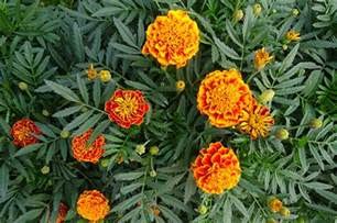 new year marigold flower marigolds how to plant grow and care for marigold