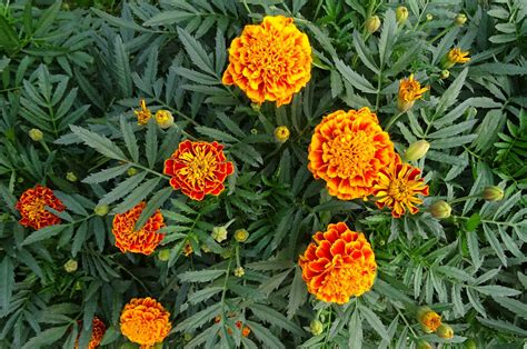 marigolds how to plant and grow marigold flowers the