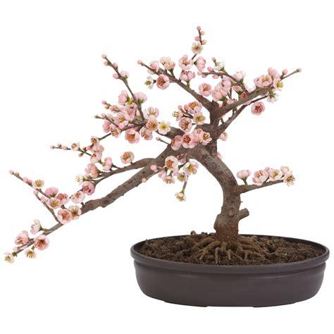 a cherry tree bonsai cherry blossom bonsai 4764