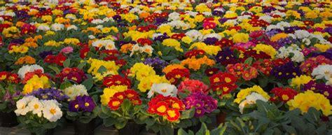 fiori primule piante mese primule e pans 232 vivaio scariot