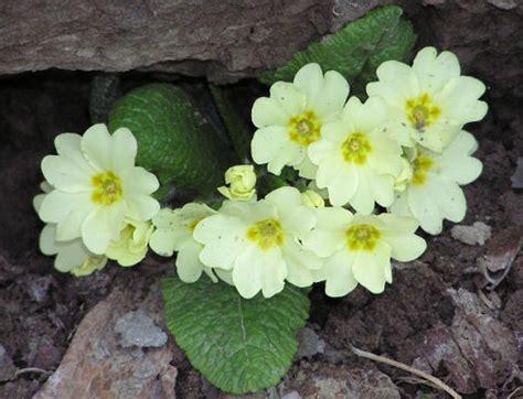 primula fiore significato dei fiori la primula pollicegreen
