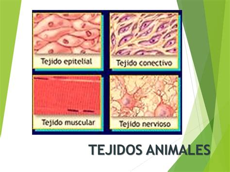 imagenes tejidos animales tejidos animales ppt video online descargar
