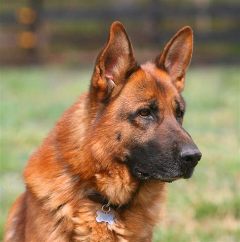 german shepherd rescue va breeder german shepherd virginia dogs our friends photo