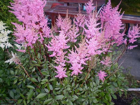 life between the flowers partial shade perennial flowering wet pondside garden plants astilbe
