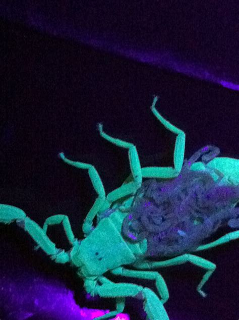 glow under black light baby scorpions under a black light pest control and bug