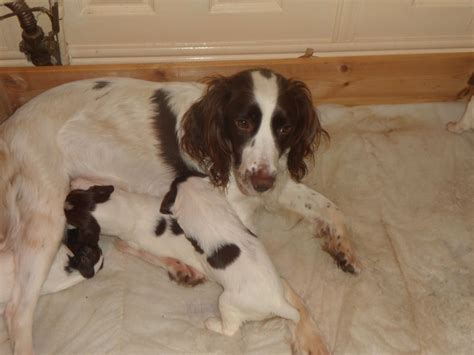 springer spaniels for sale english springer spaniel puppy for sale newport newport