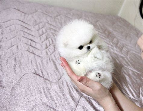 micro teacup pomeranian puppies white teacup pomeranian