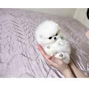 Micro Tiny Teacup Pomeranian Puppy