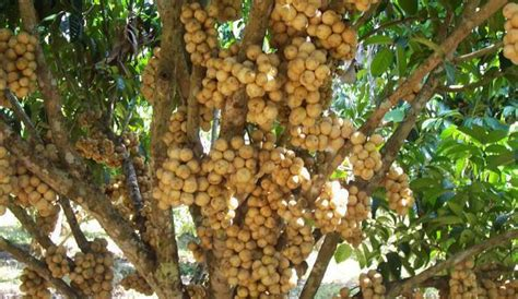 fruit trees for sale lanzones