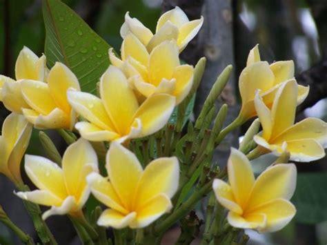 Pupuk Untuk Bunga Kamboja Jepang pohon kamboja bali jual tanaman khas bali plumeria