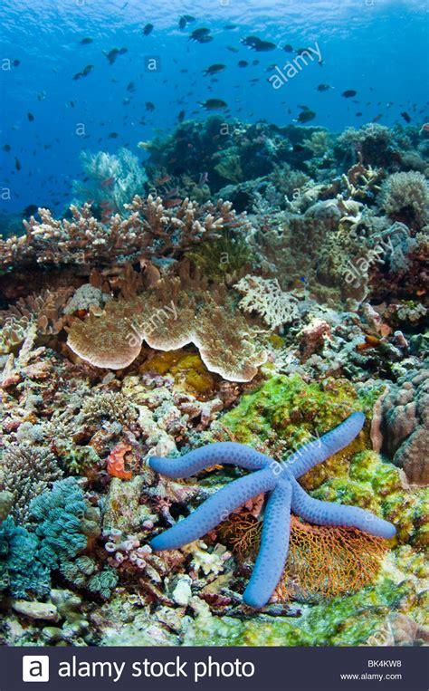 Starfish Kecil by Blue Sea Linckia Laevigata Stock Photos Blue Sea