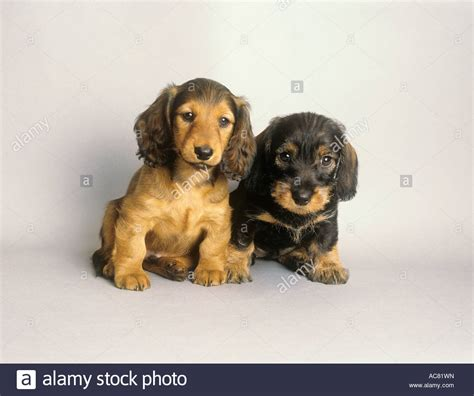 haired dachshund puppies wire haired dachshund puppy and haired dachshund