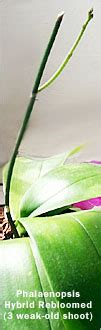 orchid care tips reblooming