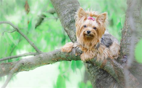 new yorkie puppy terrier new york tree hd wallpaper