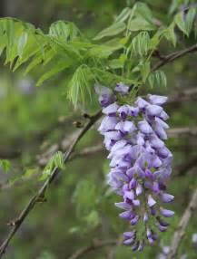 file wisteria frutescens flower cluster jpg