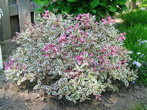 flowering weigela my monet weigela florida 12 24 quot tall