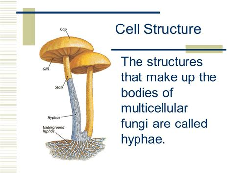 fungi diagram 7 3 kingdom fungi ppt
