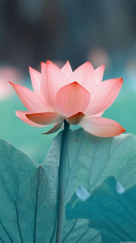 25 best ideas about lotus flowers on lotus