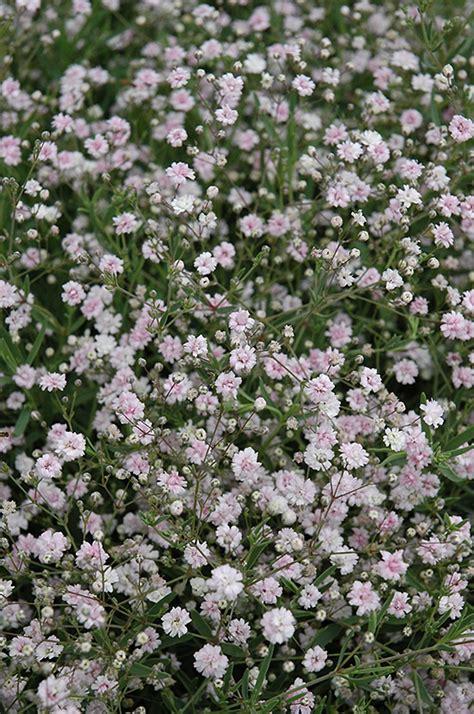 pink fairy babys breath gypsophila paniculata pink