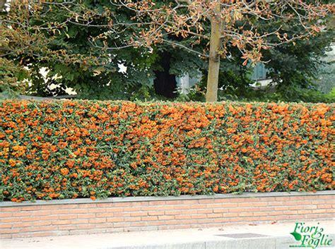 pyracantha in vaso piracanta la siepe d autunno si riempie di bacche