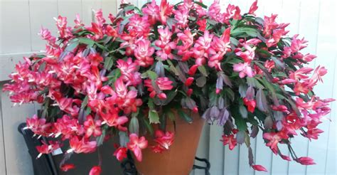 christmas cactus light requirements 28 images