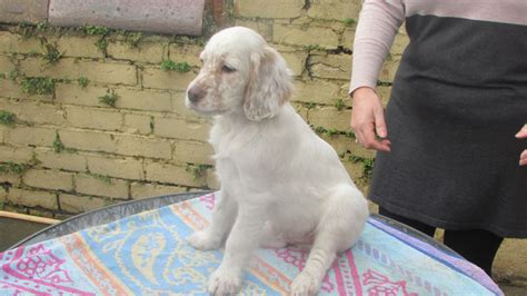 english setter dogs for sale uk english setter puppies saltcoats ayrshire pets4homes