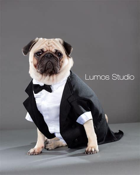 pug tuxedo tuxedo archives lumos studio lumos studio