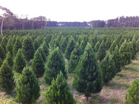 christmas trees delivered partridge not included