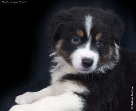 black australian shepherd puppy australian shepherd puppies black tri