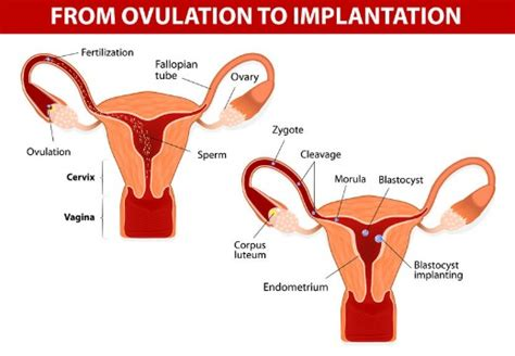 Can Detoxing Your Cause Periods To Last Longer by When Does Implantation Bleeding Occur