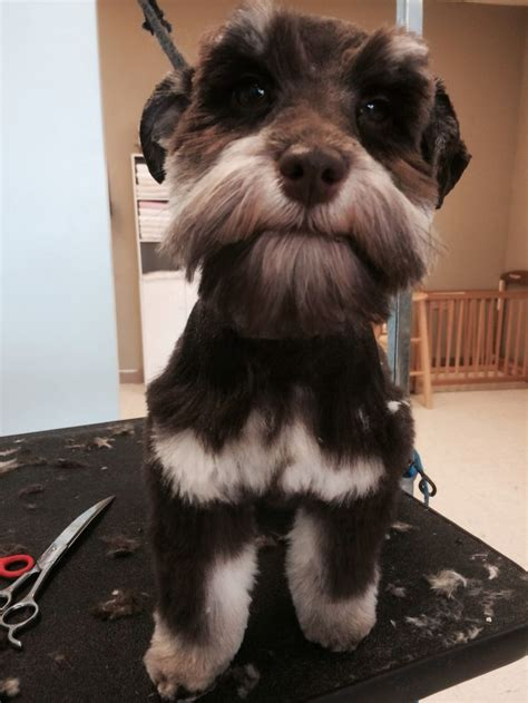 schnauzer puppy cut schnauzer cut on puppy dogs