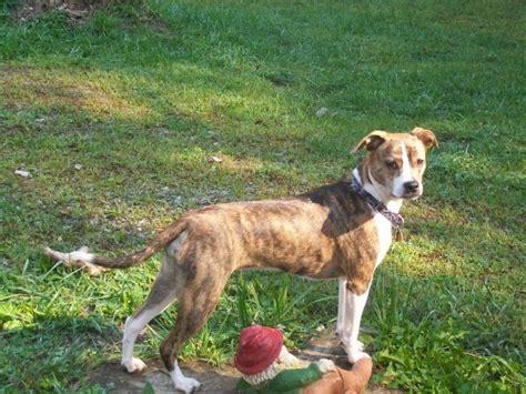 pug beagle terrier mix phoebe boston terrier pug beagle mix awh i m so in